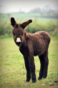 Un âne miniature regarde le photographe.