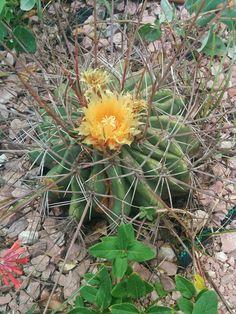 Ferocactus emory subsp. rectispinus