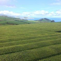Las únicas plantaciones de té Europa están en San Miguel de Azores... espectacular! #visitAzores #viajandoAzores
