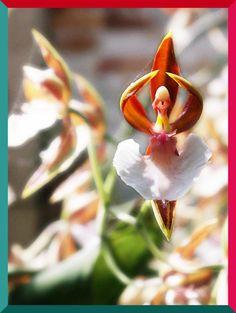 Orquidea Bailarina