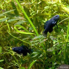 In der Aquaristik werden sie oft verkannt, dabei sind Zwergschwarzbarsche (Elassoma evergladei) echte Schönheiten im Aquarium, die darüber hinaus auch noch sehr einfach zu pflegen sind. Diese Art ist im Handel weniger verbreitet – fragen lohnt sich aber immer, ggf. können die Tiere bestellt werden. Ansonsten lassen sich Nachzuchten aus Privathand bzw. über den Arbeitskreis Kaltwasserfische de ...