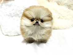 Orange sable Micro teacup Pom so cute I can't even wrap my head around it!!!!!