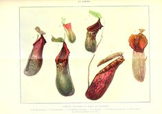 wallacegardens:    Le Jardin (1903): Nepenthes (pitcher plants, carnivores).