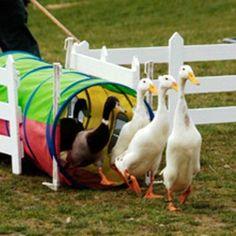 Duckherding