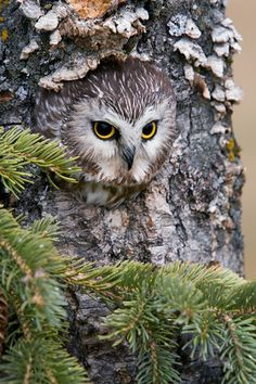 Owl in the knot.knot on an owl! Beautiful Owl, Animals Beautiful, Cute Animals, Saw Whet Owl, Owl Pictures, Owl Photos, Wise Owl, Owl Bird, Tier Fotos