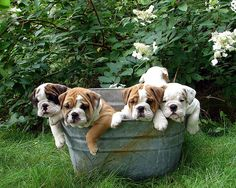 Now those are some wrinkles you definitely don't want to ring out when doing laundry! :D #laundry #tub #metal #outdoors #cute #dogs #puppies #bulldog #English #pets #animals