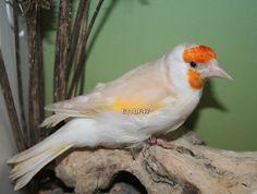 Jilguero major Isabela pastel | Aviario La magia del color | Criadero de aves