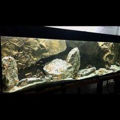 Aquarium Design, Aquarium Ideas, Aquarium Fish, Aquarium Backgrounds, African Cichlids, 3d Background, Freshwater Aquarium, Bearded Dragon, Aquariums