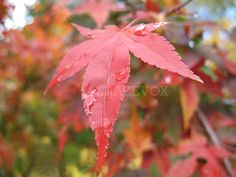 ARTICLE: Fall Colors Japanese Maple Tree #autumn #season #red #leaves #leaf View original post at http://www.gardenersland.com/2007/10/fall-colors-japanese-maple-tree-part-c.html