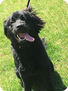 4/17/17 Berkeley Heights, NJ - Newfoundland. Meet Annie, a puppy for adoption. http://www.adoptapet.com/pet/17963276-berkeley-heights-new-jersey-newfoundland