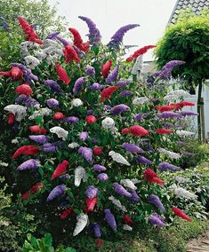 A tri-color butterfly bush? Wow.