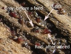 Red Mite In Chickens Houses | Keeping Chickens: A Beginners Guide