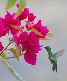Hummingbird in Trinidad and Tobago. Photo by Glenn Ramanan Bird Species, Flocking, Bird Feathers, Beautiful Creatures, Trinidad, Hummingbird, Birds, Hummingbirds, Bird