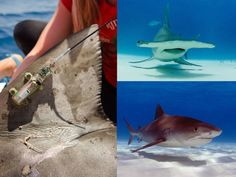 To study their movements in relation to marine protected areas, satellite tags were affixed to the dorsal fins (left) of great hammerhead sharks, Sphyrna mokarran (top right), tiger sharks Galeocerdo cuvier (bottom right) Credit: Dorsal fin - Frank Gibson Credit: Hammerhead and Tiger shark – Neil Hammerschlag, Ph.D.