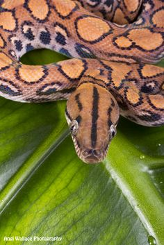 Brazilian rainbow boa by AngiWallace on DeviantArt Cool Snakes, Colorful Snakes, Brazilian Rainbow Boa, Amazon Rainforest, Animal Species, Vertebrates, Crocodiles, Reptiles And Amphibians, Tortoises