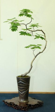 Moving Out of the Bonsai Mainstream with a Deft and Delicate Touch