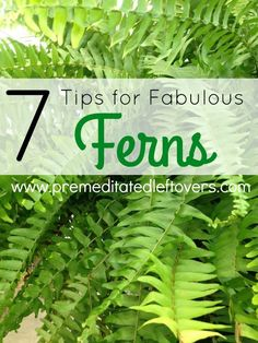 Tips for Growing Fabulous Ferns- Ferns can be a tad finicky. Once you know these key tips and tricks you can grow the most gorgeous ferns on the block!