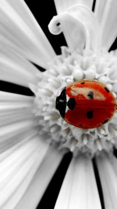 ✖️Ladybugs/ Lady Birds✖️No Pin Limits✖️More Pins Like This One At FOSTERGINGER @ Pinterest✖️