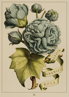 foliosasinen, beautiful botanical illustration
