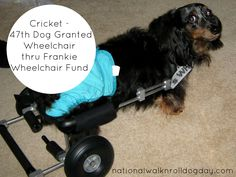 47th dog up and rolling, living a life with mobility thanks to the generous donations to the Frankie Wheelchair Fund.