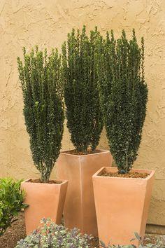 Width mature width juniperus mature sabin