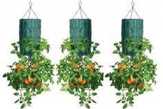 Aprende a cultivar una planta de tomates invertida en una botella de plástico colgante.