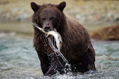 Grizzly Bear fishing in Katmai National Park Bear Fishing, Katmai National Park, Wildlife, Animals, Instagram, Brown Bears, Taste Buds, Reptiles, Sushi