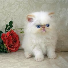 Flame point himalayan persian cat