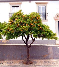 Orange Tree in Faro - Algarve, Portugal