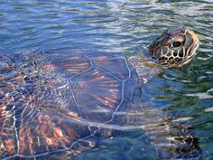 A particularly shiny turtle in Maui