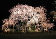 【六義園】昨夜のしだれ桜もすごくきれいでした。毎日表情が変わっていくので見ていて楽しいです。ライトアップは4月5日まで開催中。今日もみなさまのお越しをお待ちしております。