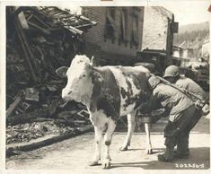 Des soldats du bataillon d'infanterie traire une vache en Allemagne, 16 mars 1945 Soldiers of the Infantry Battalion milk a cow in Germany, March 1945 Germany Ww2, Army Infantry, Man Of War, World History, Ww2 History, American Soldiers, Military History, World War Two, Wwii