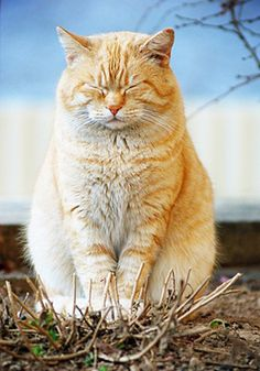 FAT Cat :) NO! NO! NO! Healthy cat.... beautiful butterscotch .... look through all the cat pictures on pinterest that you can find and I guarantee that you will find a TRULY FAT cat or 2!!