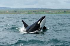 Killer Whales (Orcas) off the South African Coast