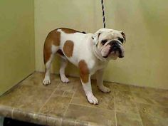 SAFE!!! COTTO – A1039023 ***DOH HOLD RELEASED – 06/16/15*** NEUTERED MALE, WHITE / BROWN, ENG BULLDOG MIX, 3 yrs STRAY – ONHOLDHERE, HOLD FOR DOH-HB Reason STRAY Intake condition EXAM REQ Intake Date 06/06/2015, From NY 10306, DueOut Date 06/16/2015,