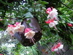 Pendientes de la reina, un jardín fucsia
