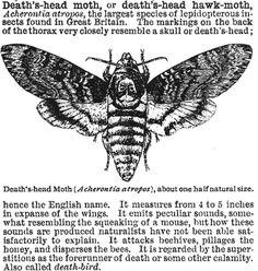 death's-head moth