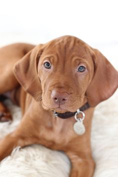 Love Dogs, Cute Dogs And Puppies, Baby Puppies, Baby Dogs, Pet Dogs, Dog Cat, Doggies, Visla Puppy, Redbone Coonhound
