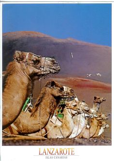 Camels in Lanzarote, Canary Islands Spain. Holiday Places, Destinations, Spain And Portugal, Canary Islands, Spain Travel, Travel Around The World, Strand, Adventure, Atlantic Ocean
