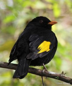 Black-and-gold cotinga: Atlantic forest, Brazil