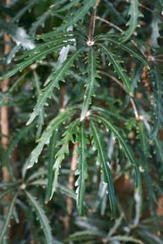 Culture du Schefflera, l'arbre parapluie - Plante d'intérieur