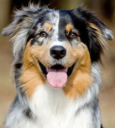 Beautiful Australian Shepherd.    Happy day.