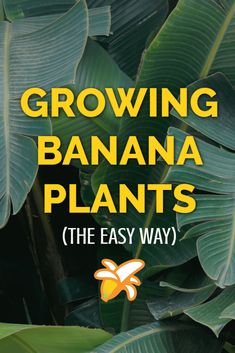 The complete guide to growing banana plants at home. Whether you grow them indoors in a glasshouse, or put them out in your garden during warmer weather banana plants are ideal for providing a tropical feel in your garden. art design landspacing to plant Banana Plant Indoor, Banana Plant Care, Grow Banana Tree, Banana Growing, Home Vegetable Garden, Fruit Garden, Edible Garden, Tropical Landscaping, Tropical Garden