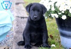 This precious Black Lab puppy is a beautiful fella who will surely keep you on your toes! He is friendly as can be and will make that amazing companion Black Puppy, Black Lab Puppies, English Labrador Puppies, Corgi Puppies, Labrador Quotes, White Labrador, Dog Grooming Business, Puppies For Sale, Dog Lovers