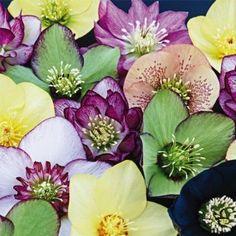 Winter Thriller™ Flowering Helleborus Mix