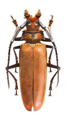 Callipogon (Orthomegas) fragosoi