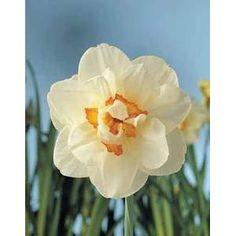 Narcisses Flowerdrift