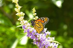 Monarch Butterfly on Texas Lilac Bush.