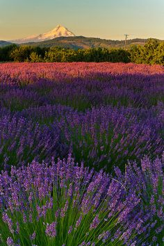 Lavender Valley Fields, Oak Grove, Oregon, South of Hood River by Gregory Pepion