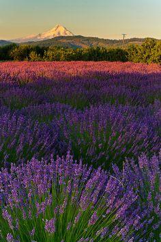 ✯ Lavender Fields Forever - Oak Grove, Oregon